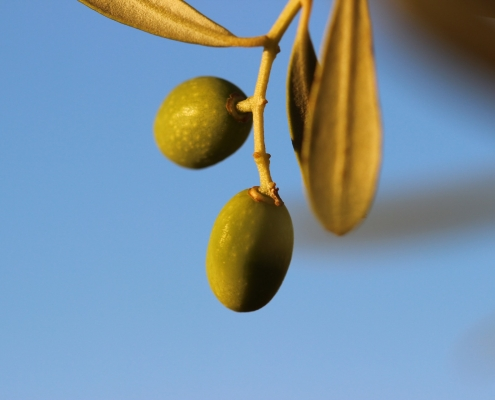 eumelia farm olives olive oil holiday