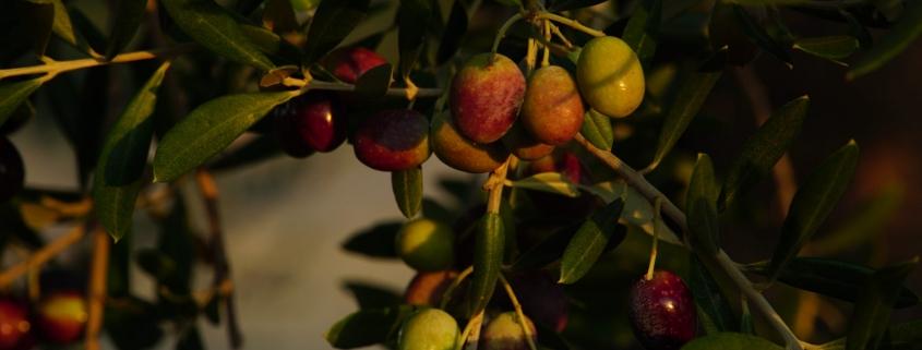 eumelia farm olives on olive tree